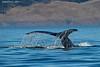 Humpback whale sounding .Spidon Island