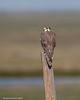 Peregrine Falcon , Alberta.