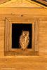 Great Horned Owl , Sunrise.