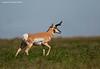 Pronghorn Antelope. Southern Alberta