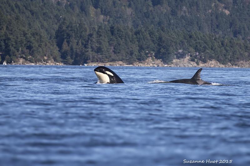 Curious Orca spyhopping