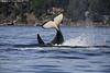 Orca at play