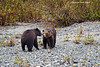 Mother Grizzly with cub