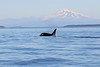Transient Orca with mount Baker backdrop.