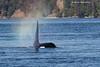 Onyx . Bull Orca  born into LPod