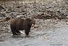 Grizzly Bear Boar .