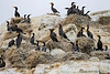 Double-crested Cormorants  nesting.