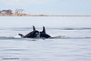 Mother and Calf exciting Active Pass