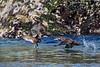 Pair of female Harlequin ducks .