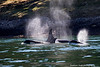 Orca;s transiting Active pass