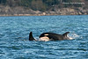 Another one of the several Orca calves born last year.