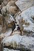Pelagic Cormorant with chick.