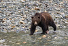 Grizzly male fishing