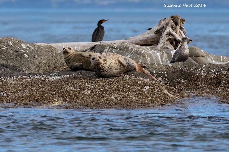 Harbor Seals with neighbors.