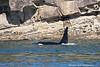Bull Orca close to shore, Pender Island.