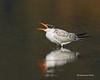 Juvenile Caspian Tern.
