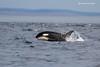 Transient Orca porpoising