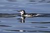 Common Murre in Winter plumage