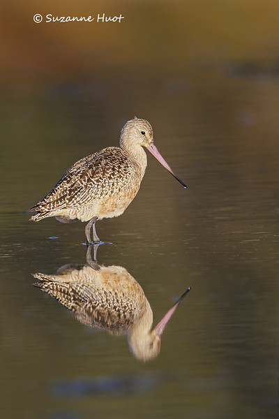 Marbled Godwit reflection