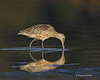 Marbled Godwit reflection.