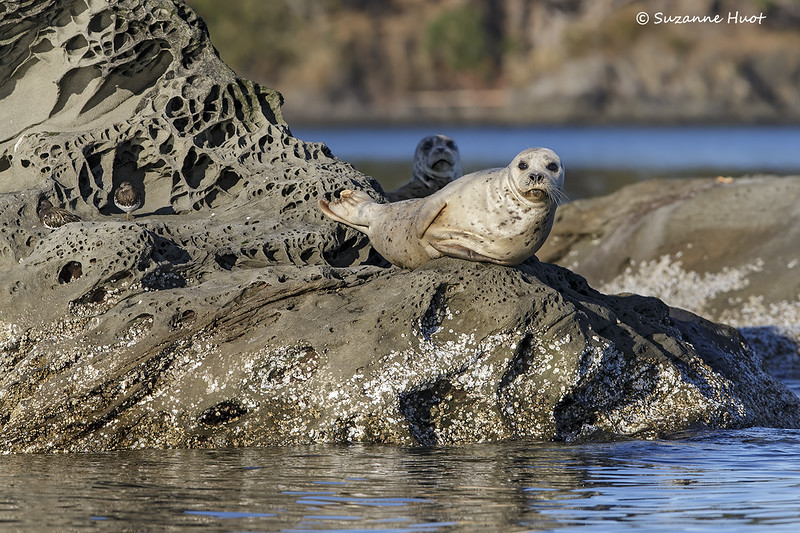Harbor Seals  sharing rock with Black Turnstones.