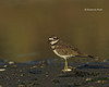 Killdeer at dawn