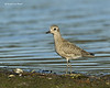 Black-bellied Plover in Winter plumage Plover