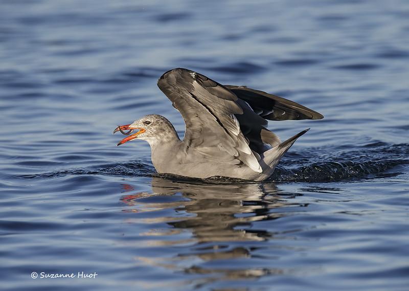 Heerman's gull with catch