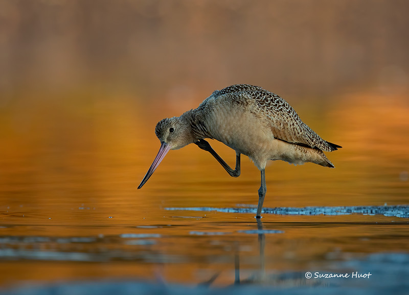 Marbled Godwit at Sunrise