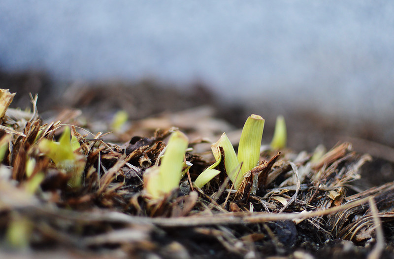 Spring may be near; some green plants were seen poking through the ground at the Upper Common in Fitchburg on Tuesday. SENTINEL & ENTERPRISE/ ASHLEY LUCENTE