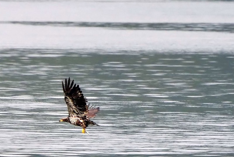 Juvenile bald eagle learning to fish