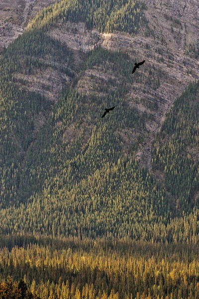 Ravens at Hoodoo Overlook