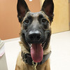 Bruin, a 17-month-old Belgian Malinois, recently completed a 22-week-long training course at the Massachusetts State Police Canine Academy with his officer, Rich Michel of the Westminster Police Department. PHOTO COURTESY OF RICH MICHEL