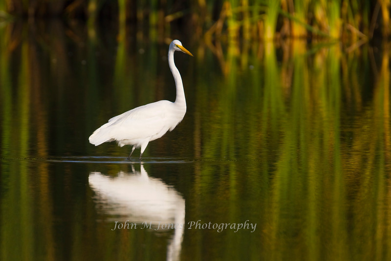 Great Egret, Nueces County, Texas