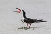 Black Skimmer, Aransas County, Texas