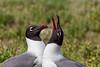 Courting Laughing Gulls, Aransas County, Texas