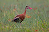 Black-bellied Whistling-Duck, Aransas County, Texas