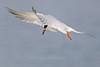Forster's Tern in flight, Aransas County, Texas