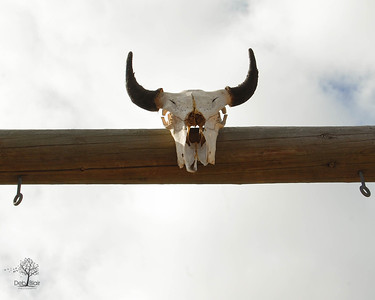 Steer Skull and Horns in Oregon