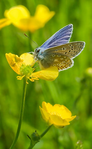 Butter on Butter (Common Blue Butterfly feeding on a Beautiful Bright Buttercup)