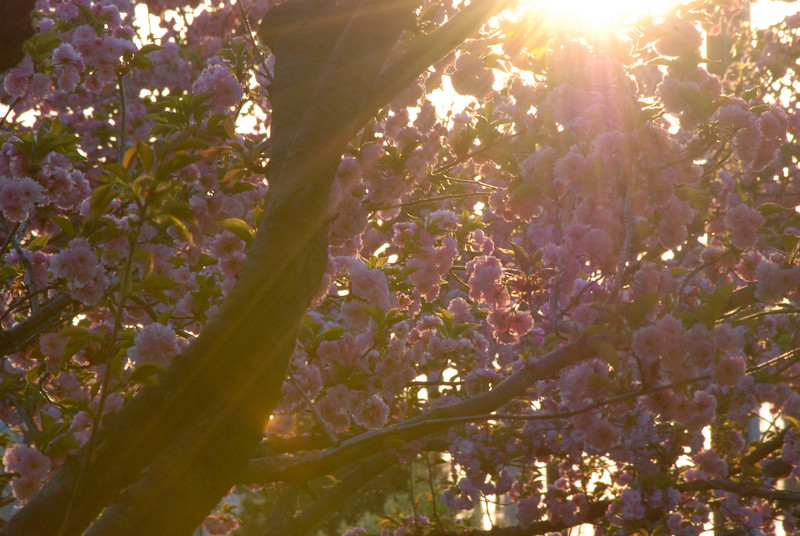 Happiness is Sunlight and Cherry Blosssoms