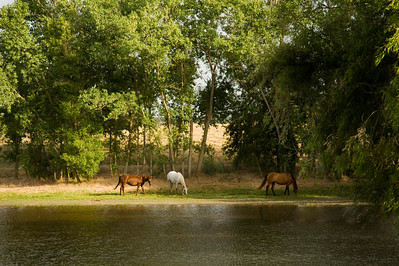 horses by pond