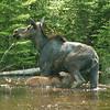 sarah Hamilton - Mama Moose