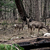 Irene Phillips - Yosemite Deer