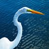 Heather McDowell - White Heron