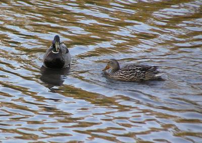 Mr and Mrs Mallard Swim The Mohawk