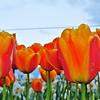Nadia Willis - Tulip Festival in Washington State