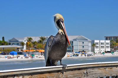 Doug Smith - Floridea Brown Pelican
