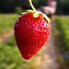 Strawberry Rows