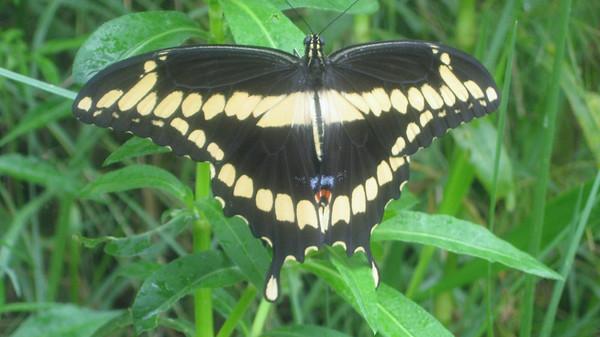 roberto pacheco - la bellla mariposa